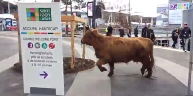 Et soudain, cette vache décida de s'échapper du Salon de l'Agriculture