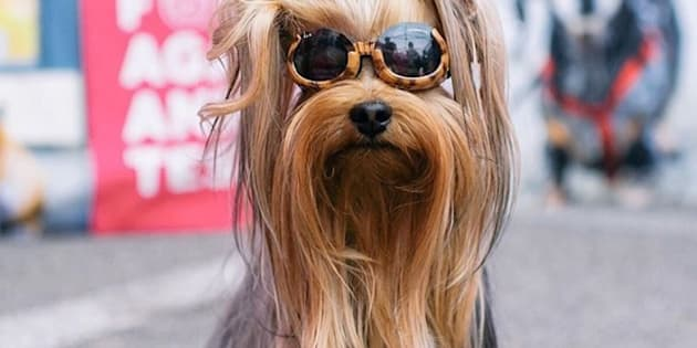 Diesel Minnie, o influenciador de cachorros.