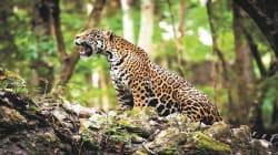 Así son los jaguares que pasean en el norte de