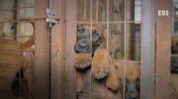 Le terrible traitement des chiens destinés à être mangés en