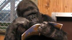 Muere Koko, la famosa gorila californiana que hablaba lenguaje de