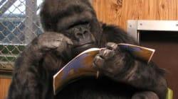 #QEPD Koko, la gorila que hablaba con lenguaje de señas, ha