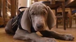 Museo de Boston reclutó a este cachorro para un trabajo