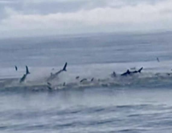 Shark feeding frenzy at Myrtle Beach stuns visitors
