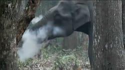 Cet éléphant sauvage s'est-il mis à la cigarette? Pas