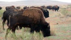 Chihuahua recupera su 'salvaje oeste'; la manada de bisontes