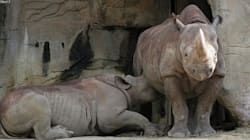 Mama Rhino Has The Audacity To Breastfeed In