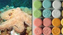 Ils ont donné de la MDMA à des poulpes pour une expérience