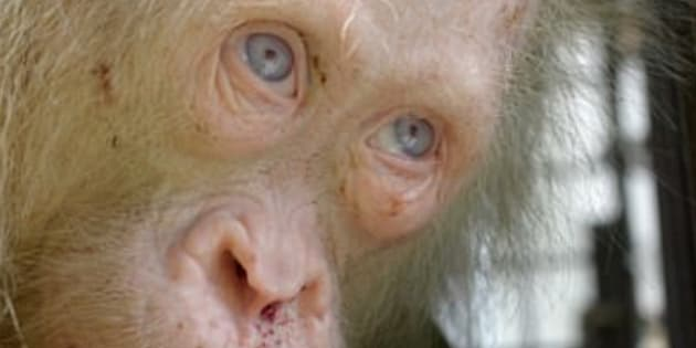 Rare albino orangutan rescued on Borneo island