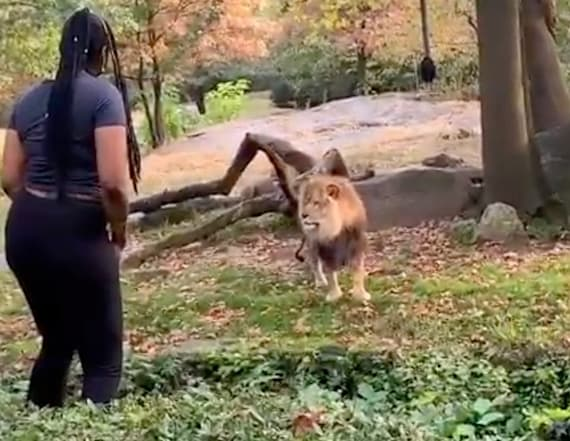 Woman climbs into Bronx Zoo exhibit to taunt lion