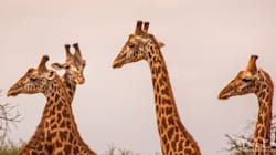 Giraffes Face Extinction If We Don't Stick Our Necks Out And Protect