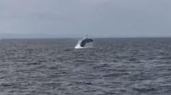 バッシャーン。東京湾で再びクジラが雄大なジャンプ(動画)