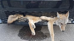 Alberta Coyote Is Alive And Well After Being Struck And Then Stuck In Car