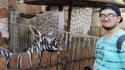 Uno zoo è accusato di aver dipinto un asino per trasformarlo in