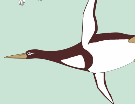 Skeletal remains of human-sized penguin found