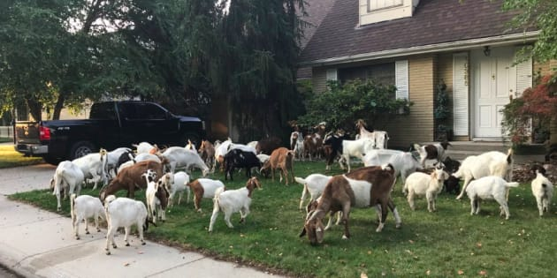 Ce troupeau de chèvres à littéralement affolé les États-Unis.