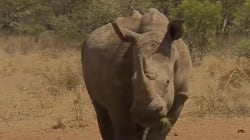 Los rinocerontes salvajes, en peligro de