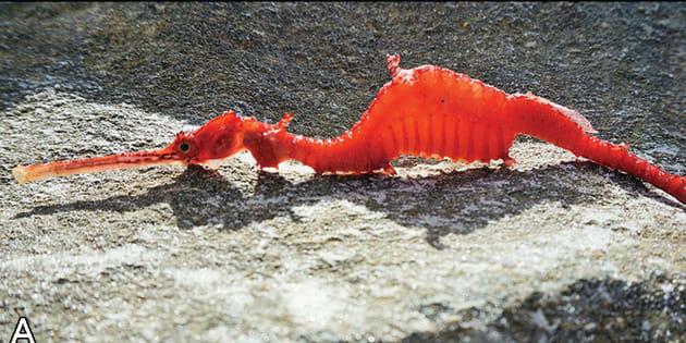 Le dragon des mers rubis.