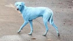 C'è una ragione molto seria dietro al caso dei cani blu che si aggirano per le strade di