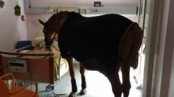 Ce cheval en balade dans un hôpital n'est pas