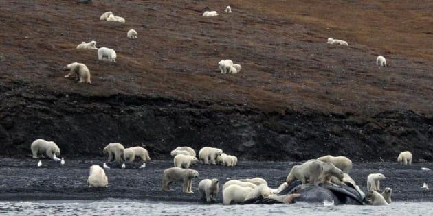 Russie: 200 ours amassés sur une île Arctique à cause du réchauffement climatique