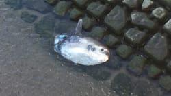 「家の裏でマンボウが死んでる」が現実になったと話題に。福岡市内の川で発見