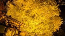 金色の世界に魅了され…ネットで絶賛「大銀杏」の写真、撮影者に聞いた