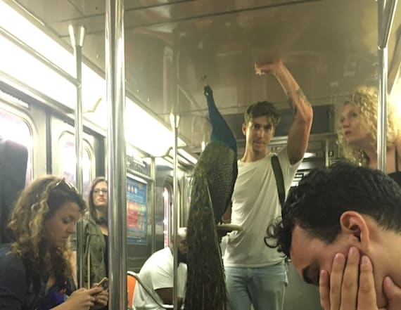 New Yorkers unfazed by man holding peacock on subway