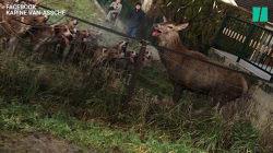 Dans l'Oise, un cerf sauvé in extremis par des riverains après un face-à-face avec les
