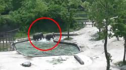 Ces éléphants sauvent un éléphanteau de la