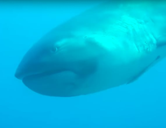 Diver spots megamouth shark off coast of Indonesia