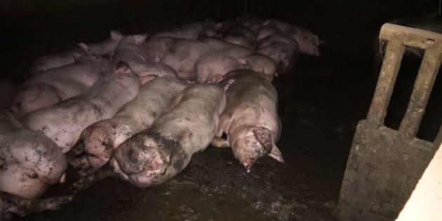 L214 : une nouvelle vidéo choc sur un élevage porcin