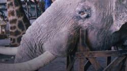 VIDEO: Mientras Obama defendía a los elefantes, Trump permitirá importar trofeos de elefante de
