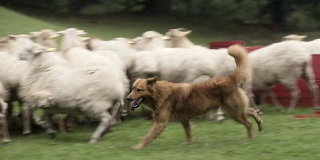 Being blind doesn't stop sheep dog Kit.