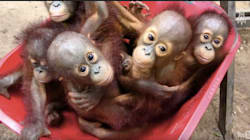 Inside A Baby Orangutan