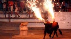 Danno fuoco alle corna del toro per divertimento, lui si
