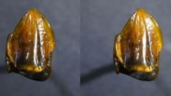 Ritrovati dei denti di 9,7 milioni di anni fa che