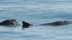 El fracaso de la captura y recuperación de la vaquita marina y la urgencia de cambiar el