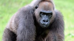 Harambe's Grandmother Euthanized At Miami
