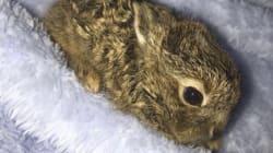 大雪のダブリン空港で野生の赤ちゃんウサギが保護 Twitterに公開された姿が愛くるしい
