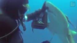 Ce plongeur a rendu un sacré service à un requin