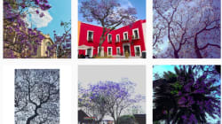 Es hora de caminar mirando al cielo: la primavera de jacarandas llegó