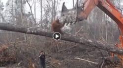 L'orango non ci sta e attacca la ruspa che sta distruggendo la foresta in cui