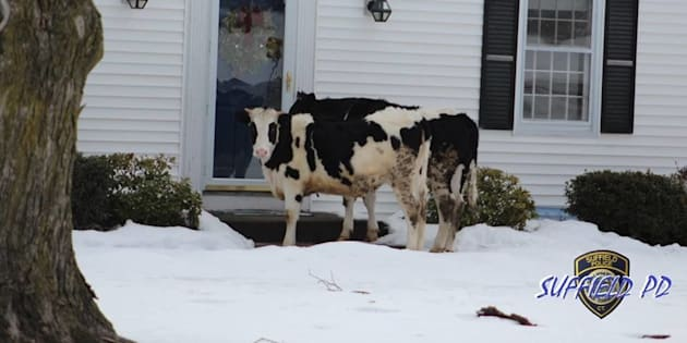 "Police in Suffield, Connecticut jokingly warned the public on Sunday not to open their doors to cattle ""trying to sell dairy products."""