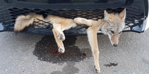 La photo est impressionnante mais ce coyote est sorti sain et sauf d'un accident sur l'autoroute.