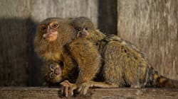 Two Pygmy Marmoset Monkeys Found After Zoo Theft, Two Men