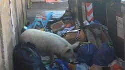 L'Abruzzo dice sì a rifiuti di Roma. Meloni pubblica su Facebook la foto di un maiale tra l'immondizia della