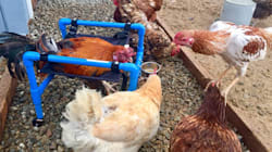 Aussie-Made Wheelchair Helps Injured Chickens Walk