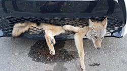 Ce coyote est aussi surpris que le conducteur d'avoir survécu à cet