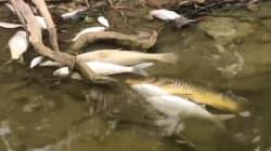 Des centaines de milliers de poissons morts en